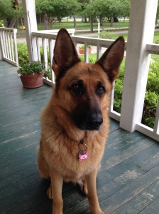West German Shepherd